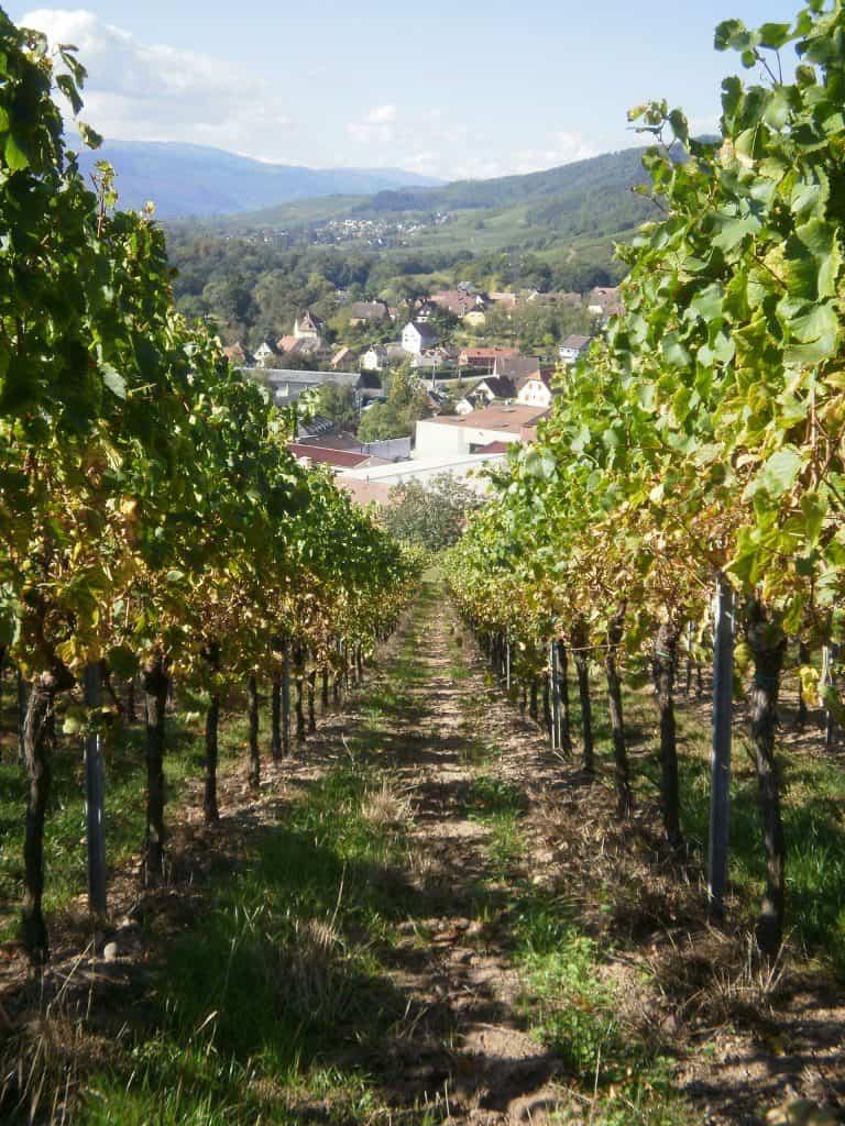Sancerre in de wijngaard
